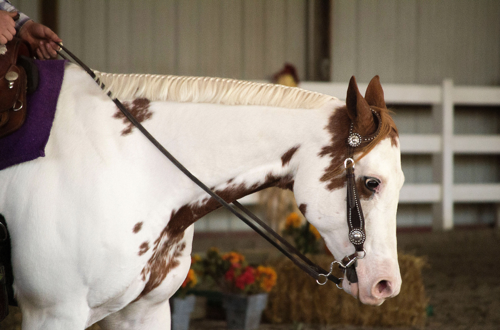 Paint Horse during Trail Pattern during MI State Championships